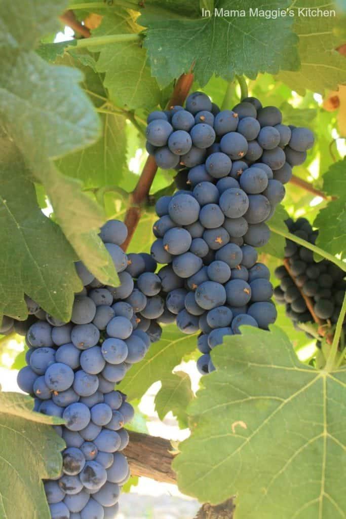 Grape Cluster Growing in Temecula Wine Valley