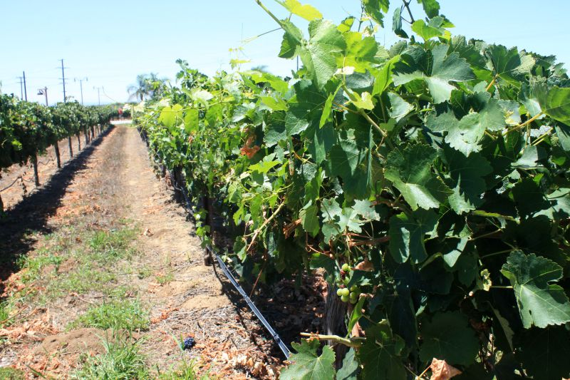 Vineyard in Temecula