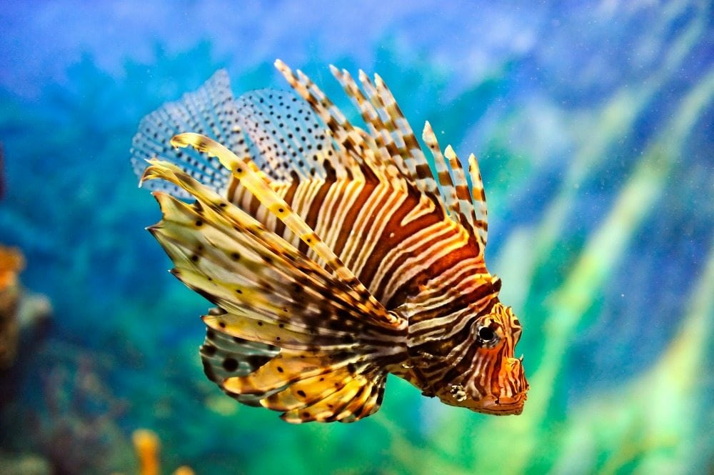 Lionfish Credit- Vudhikrai