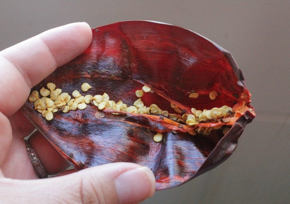 Hand showing the seeds inside the guajillo chile.