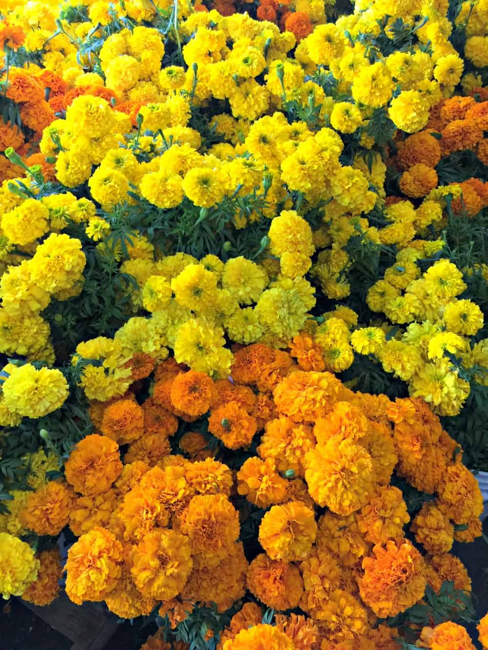 Orange and yellow marigolds clustered together.